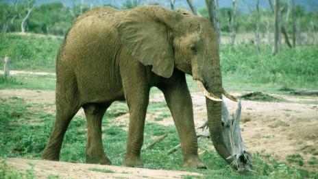 《国际濒危物种贸易公约》委员会(英文缩写为 cites)说偷猎行为和非法象牙交易有增不减.图片