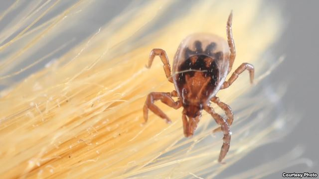 First Tick Genome Map Could Chart Ways to Stop Parasite