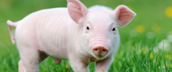 """牛津热词:新品""""低脂猪"""""""