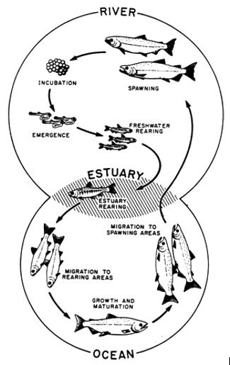 雅思写作小作文流程图考官范文:三文鱼的一生