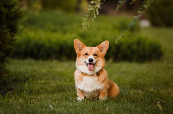 牛津热词:杜尔基犬