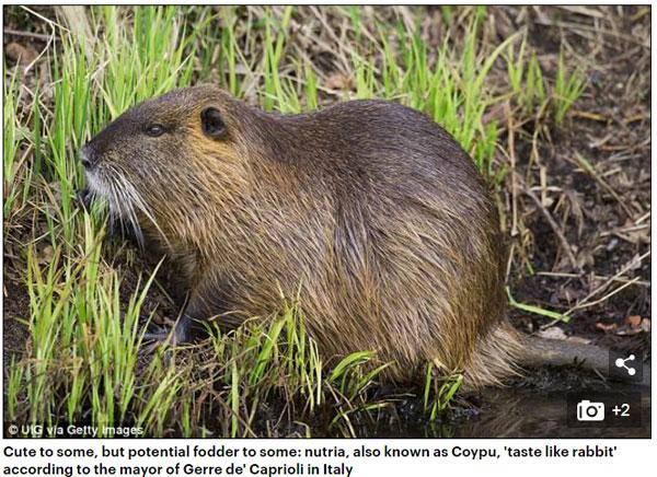 河狸鼠泛滥成灾 意大利市长提议吃掉它们