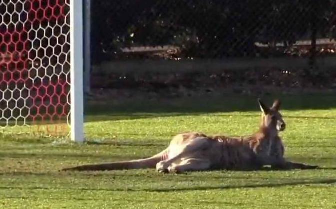 澳洲袋鼠乱入女子足球赛 上场当上
