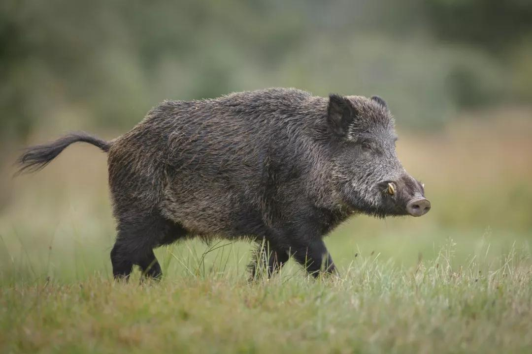 """""""猪年""""别说成pig year,正确表达是这个!"""