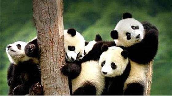 大熊猫竟是食肉动物!