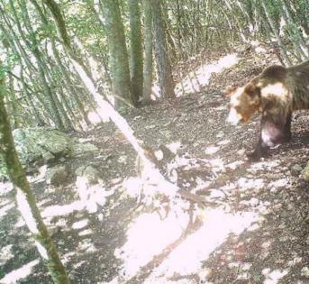 逃跑天才熊,跳过电动栅栏出逃