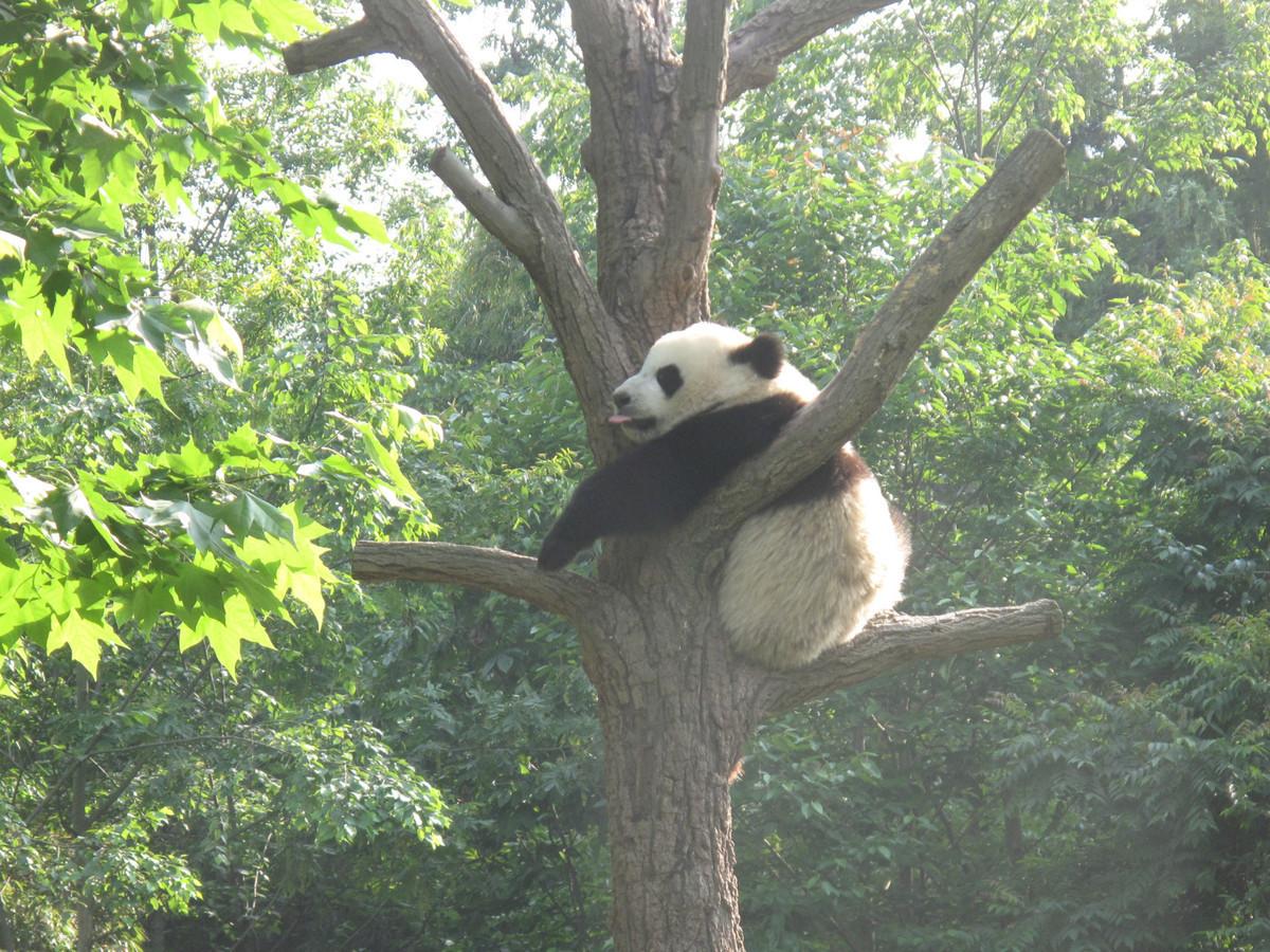 成都大熊猫基地国庆将限流 实行网络购票单日限6万张