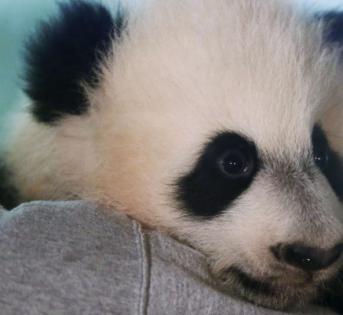 美国国家动物园4岁的熊猫将启程前往中国