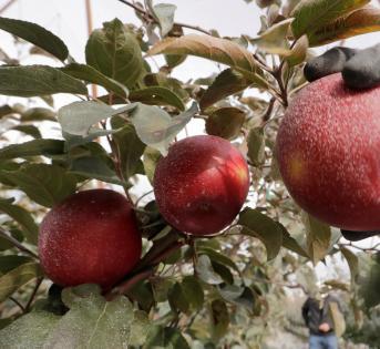 比蜜脆更好吃的新款苹果