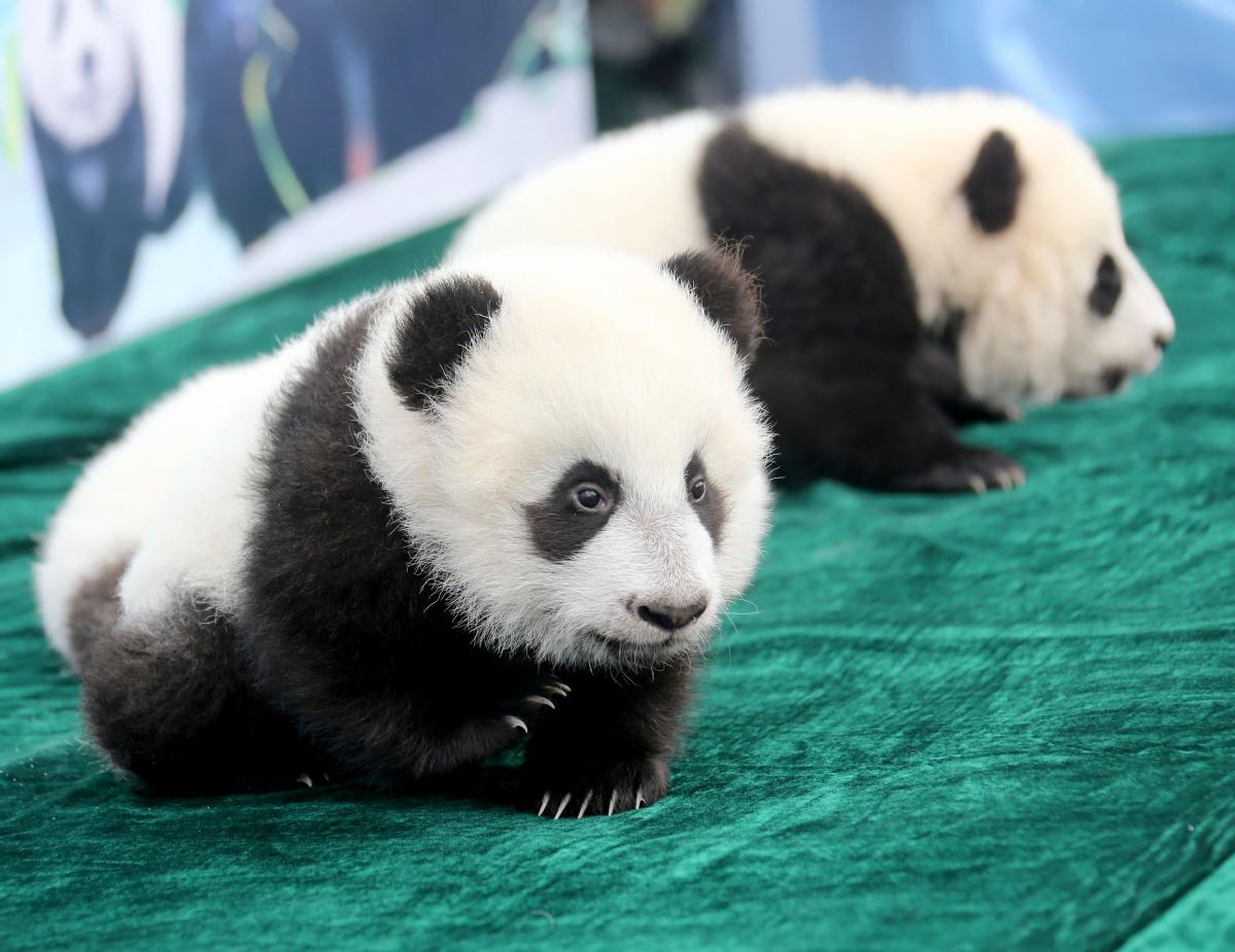 2019大熊猫最新数据发布:全球圈养大熊猫数量达600只
