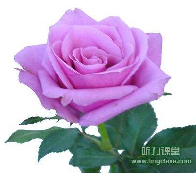 红,黄,粉,紫玫瑰花语